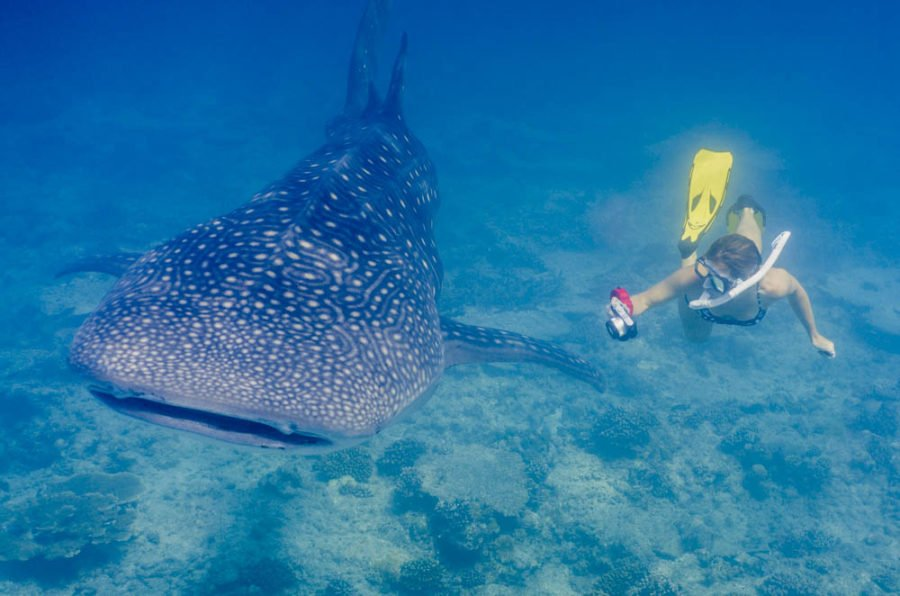 Girl swimming next to a whale shark in the Maldives