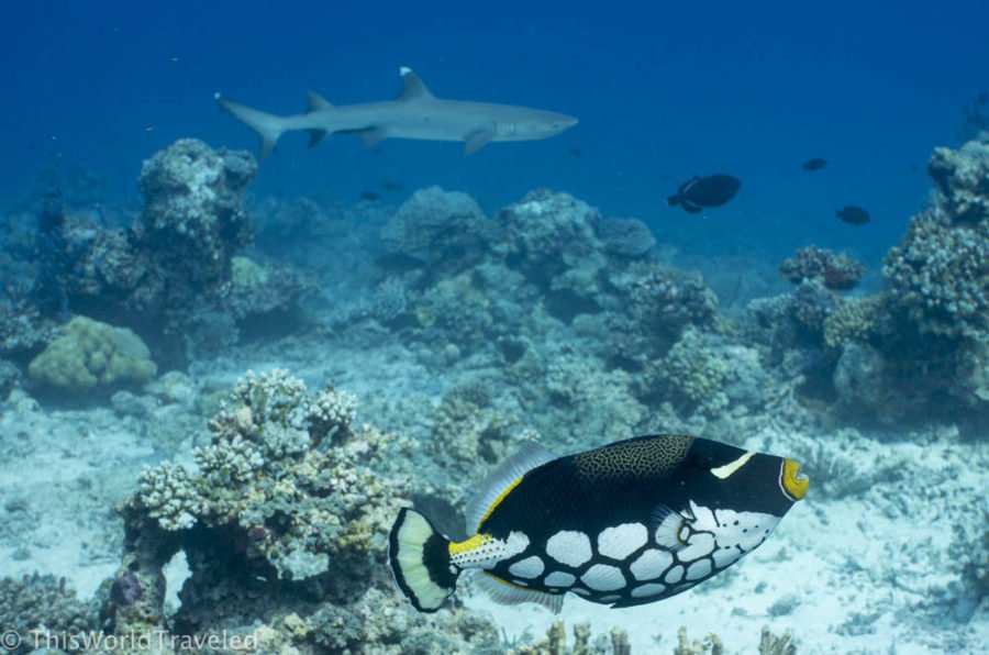 A clown triggerfish and a white tip reef shark seen while snorkeling in the Maldives