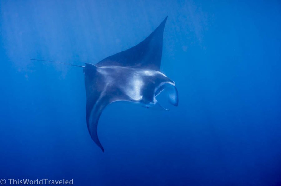 You can swim with manta rays in the Maldives when traveling there on a budget