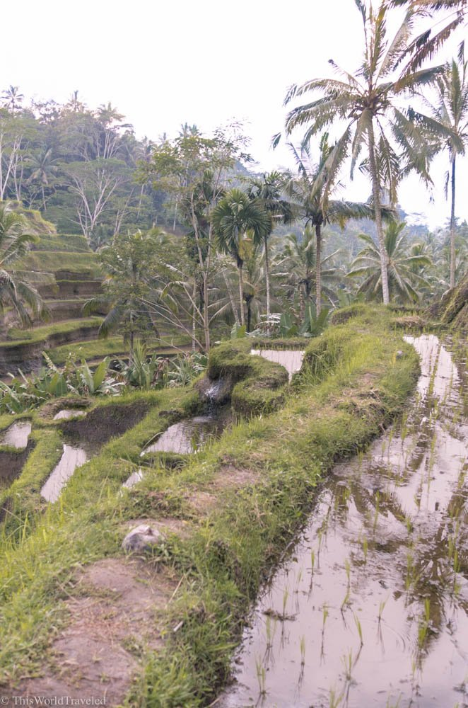 The Tegallalang Rice Terrace in Ubud is the most famous in Bali. There are many rice terraces all around Bali, you just have to get out and explore!