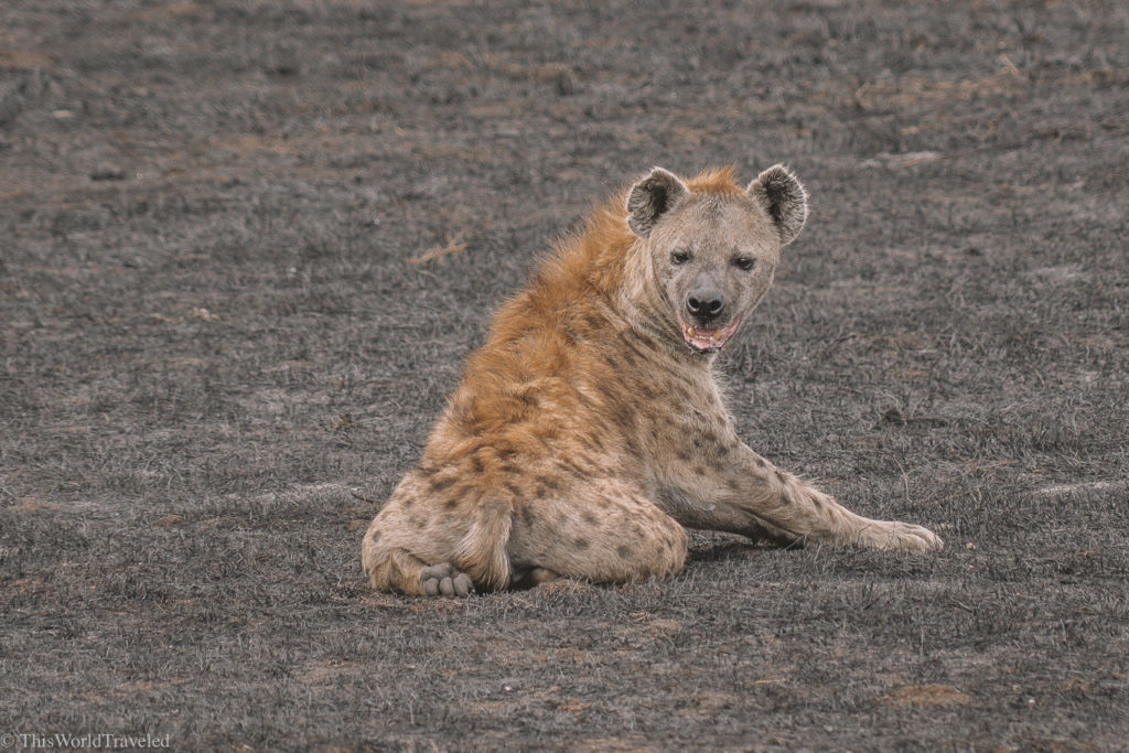 There were lots of hyenas in the Ngorogoro Crater in Tanzania