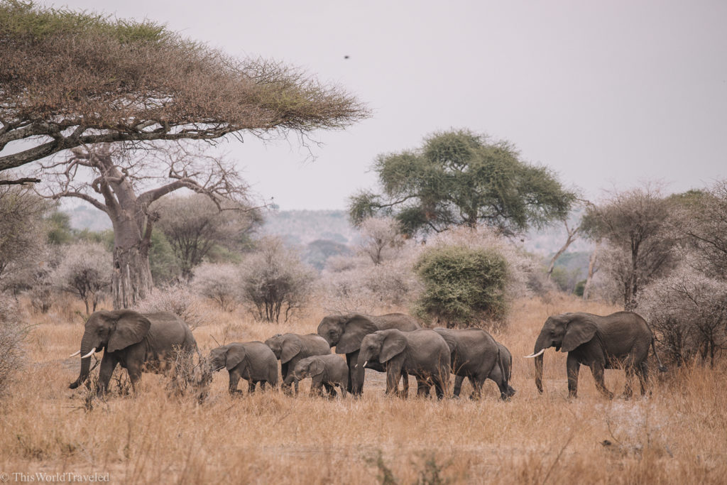 There are many herds of elephants that roam the lands of Tanzania