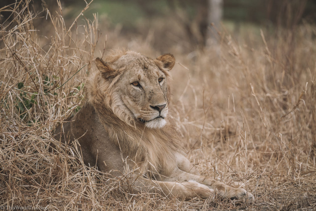 A beautiful male lion relaxing in Central Serengeti in Tanzania