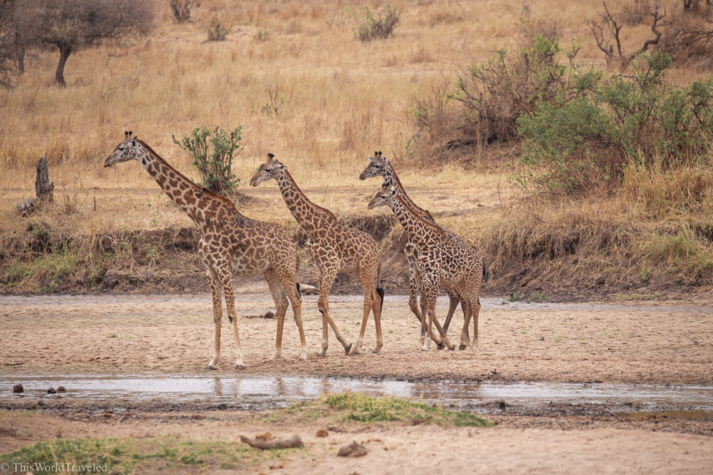 A family of Giraffes in the Serengeti in Tanzania