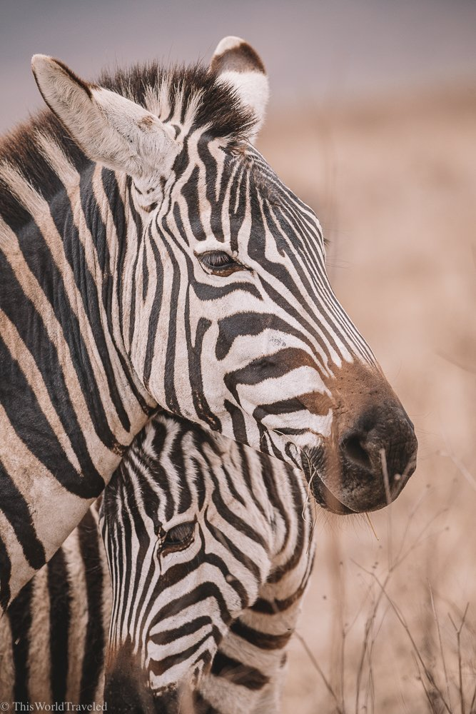 A beautiful zebra mother and her baby in Tanzania