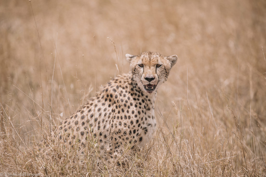 The cheetahs are not always easy to see in Tanzania but we were happy to have seen this one