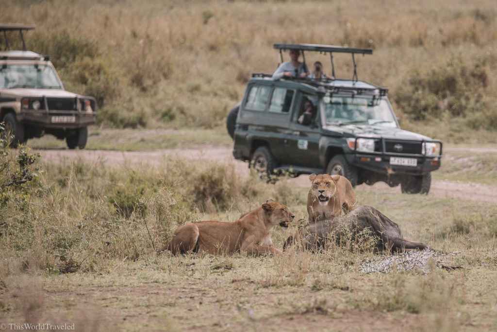The lionesses caught a wildebeest and fed it to their young in Tanzania