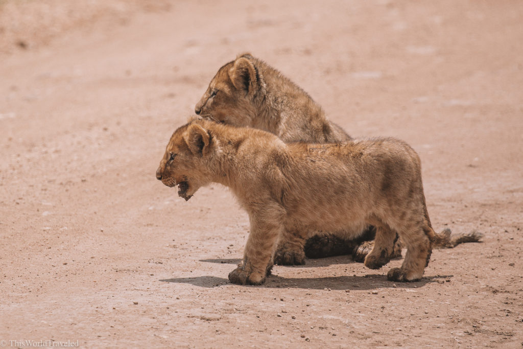 Baby lion cubs on safari in Tanzania