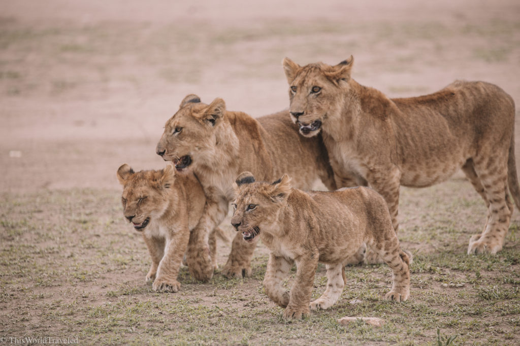 A group of lion cubs all came out to eat the freshly caught wildebeest in Tanzania
