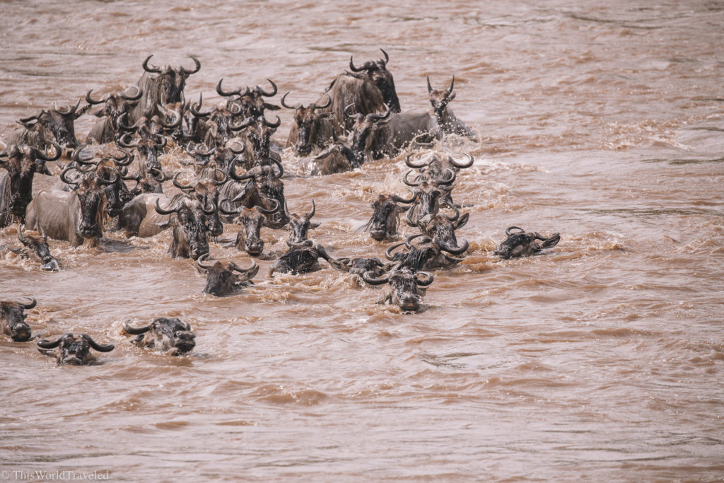 The wildebeest swimming and crossing the Mara River in Northern Tanzania