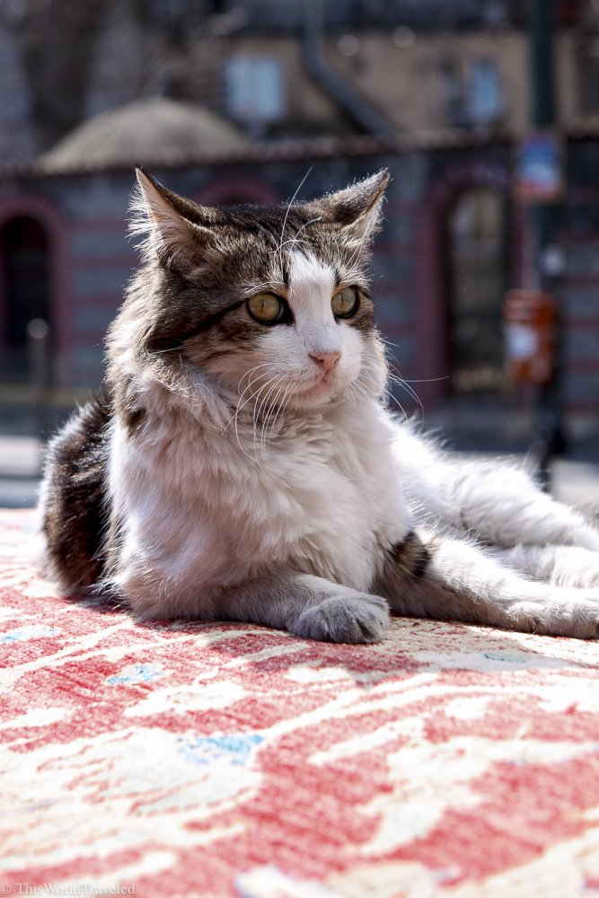 One of the many cats that call Istanbul home.