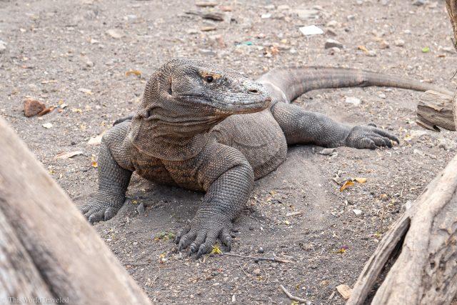 A Komodo Dragon on Rinca Island in Komodo National Park