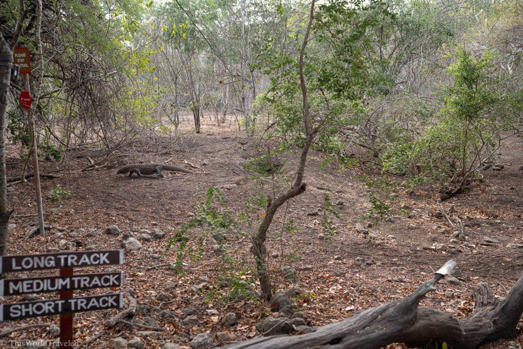 The nesting ground with a female Komodo Dragon on Rinca Island
