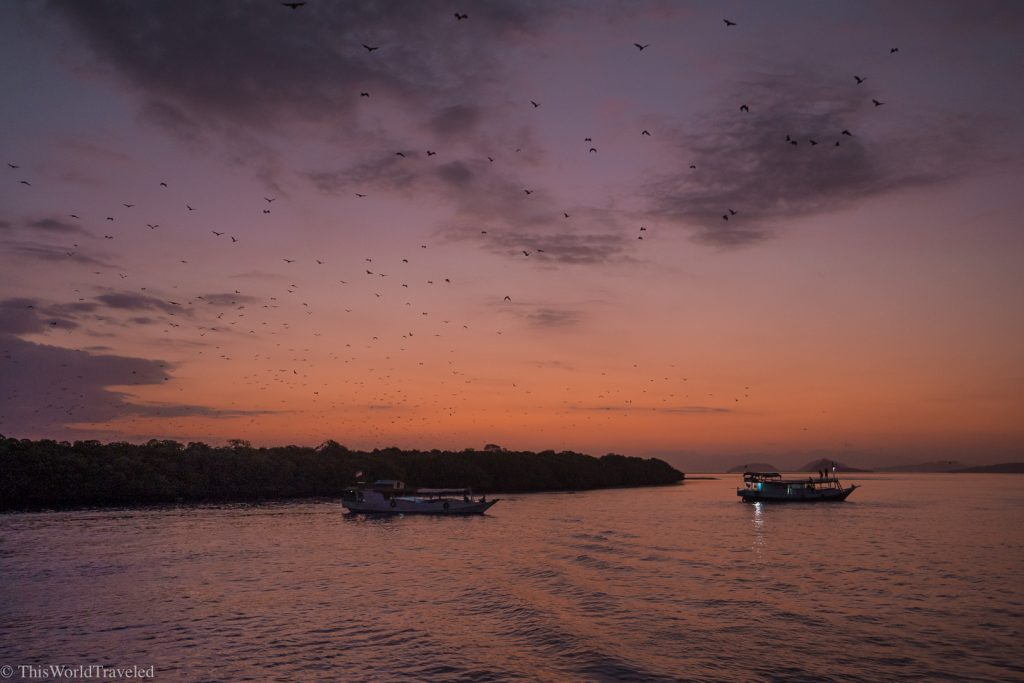 Thousands of bats flying across a sunset lit sky in the Komodo Islands
