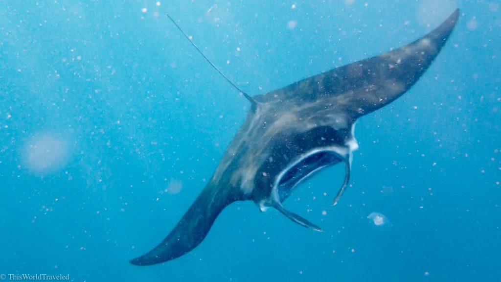 Snorkeling with manta rays in the Komodo Islands