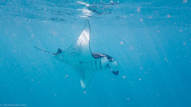 Snorkeling with manta rays at manta point in the Komodo Islands