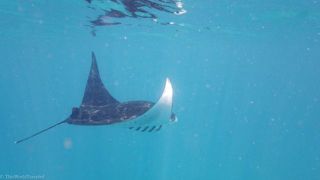 The graceful manta ray in the Komodo Islands