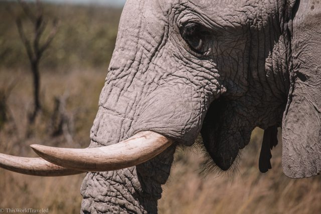 Close up of an elephant in Botswana
