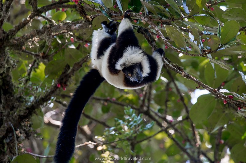 A black and white ruffed lemur in the tree tops in Madagascar