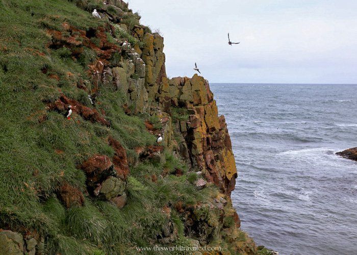 Puffins that can be seen at the puffin marina in the Borgarfjörður Eystri region in Iceland