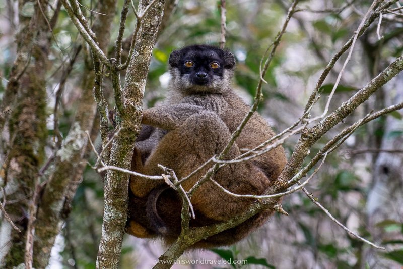 A red-fronted brown lemur seeing in the Andasibe Mantadia National Park in Madagascar