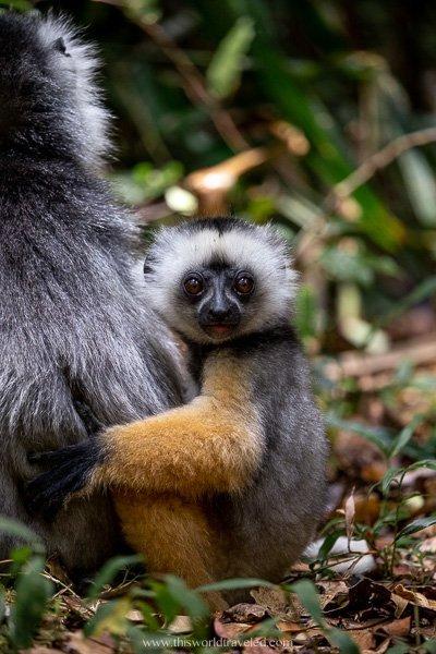 A diademed sifika baby in the Andasibe Mantadia National Park in Madagascar