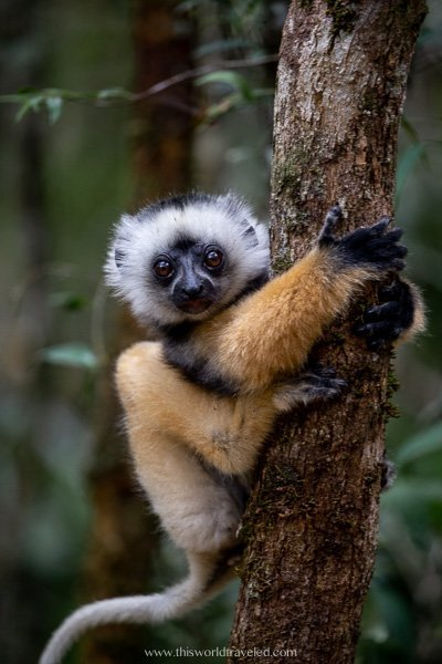 A baby diademed sifika lemur in Madagascar