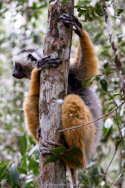 A diademed sifika lemur seen in the Andasibe Mantadia National Park in Madagascar
