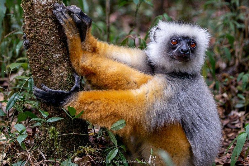 A diademed sifika lemur seen in Madagascar