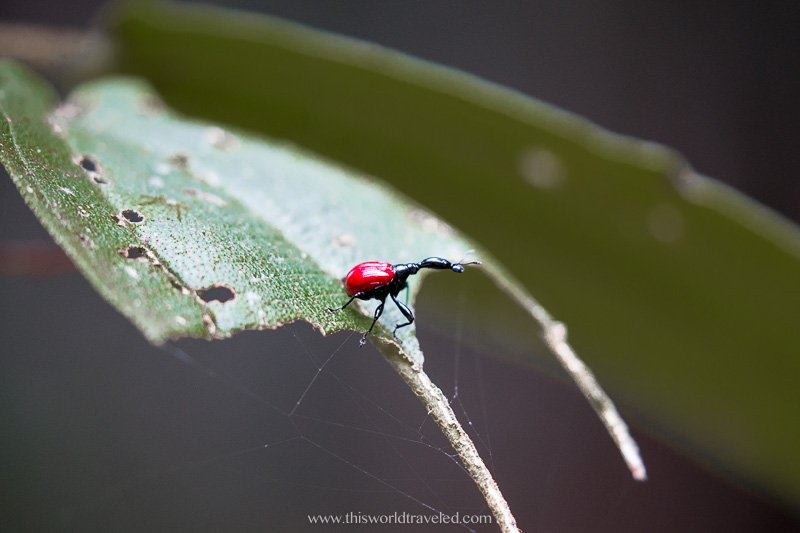 A giraffe weevil insect seen in Madagascar