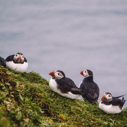 A group of puffins nesting on Mykines in the Faroe Islands