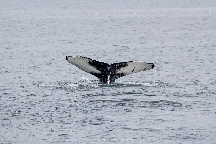 A humpback whale fluke in the north of Iceland on a whale watching trip