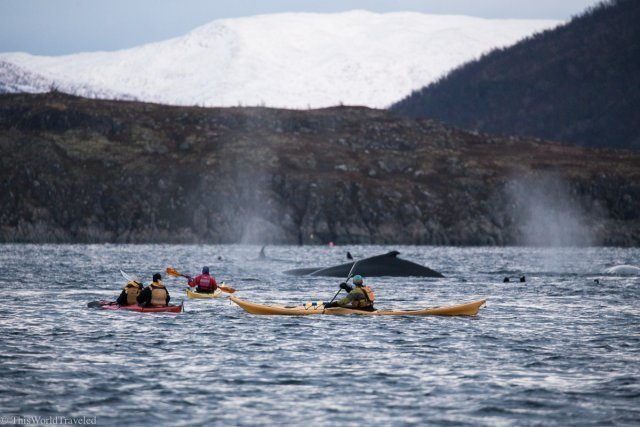 Kayakers surrounded by humpback whales and orcas in Tromsø, Norway