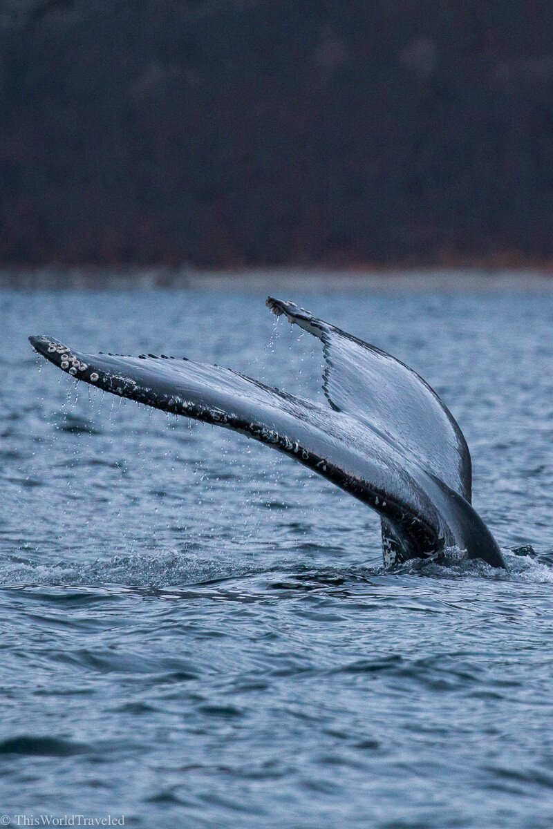 The fluke of a humpback whale coming out of the water in Tromsø, Norway
