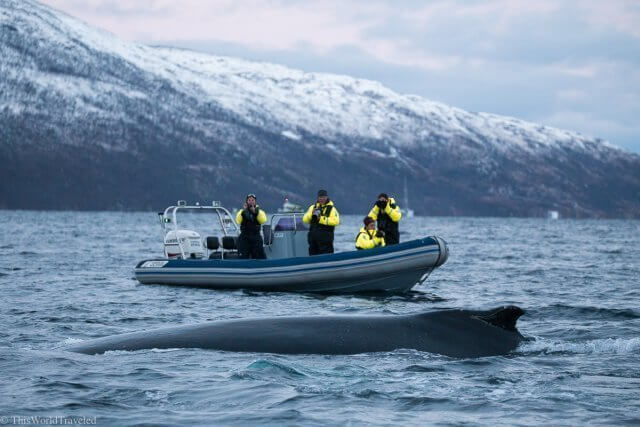 A humpback whale swimming close to a RIB boat in Tromsø, Norway
