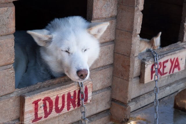 The huskies in Norway that will be part of your dog sled team