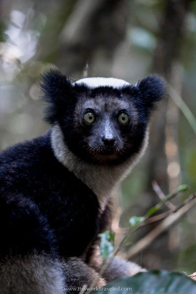 The indri lemur is the largest lemur in the world