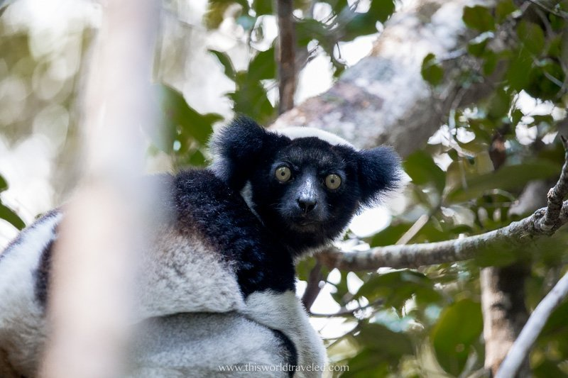 The indri lemur in Madagascar climbing up in the tree canopy