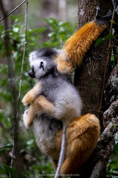 Diademed sifika lemur as seen in Madagascar
