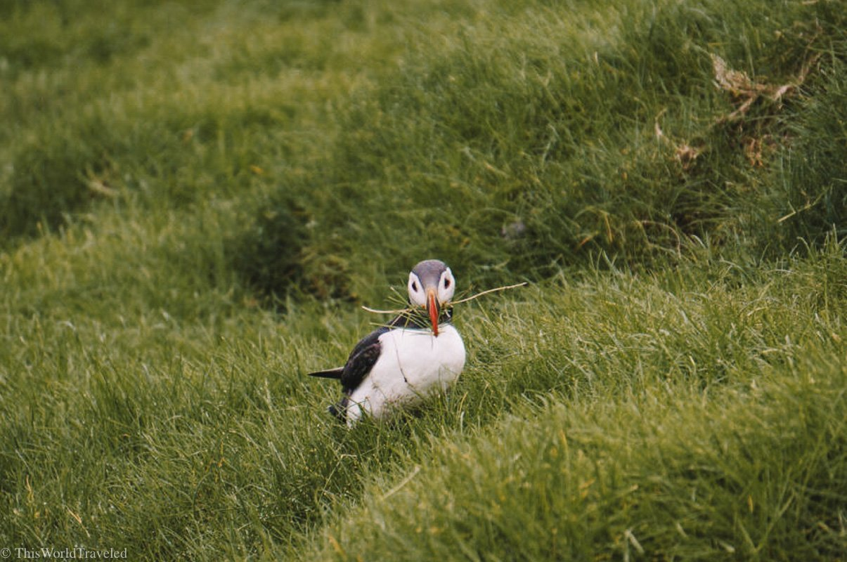 A puffin on Mykines that is collecting grass for his burrow