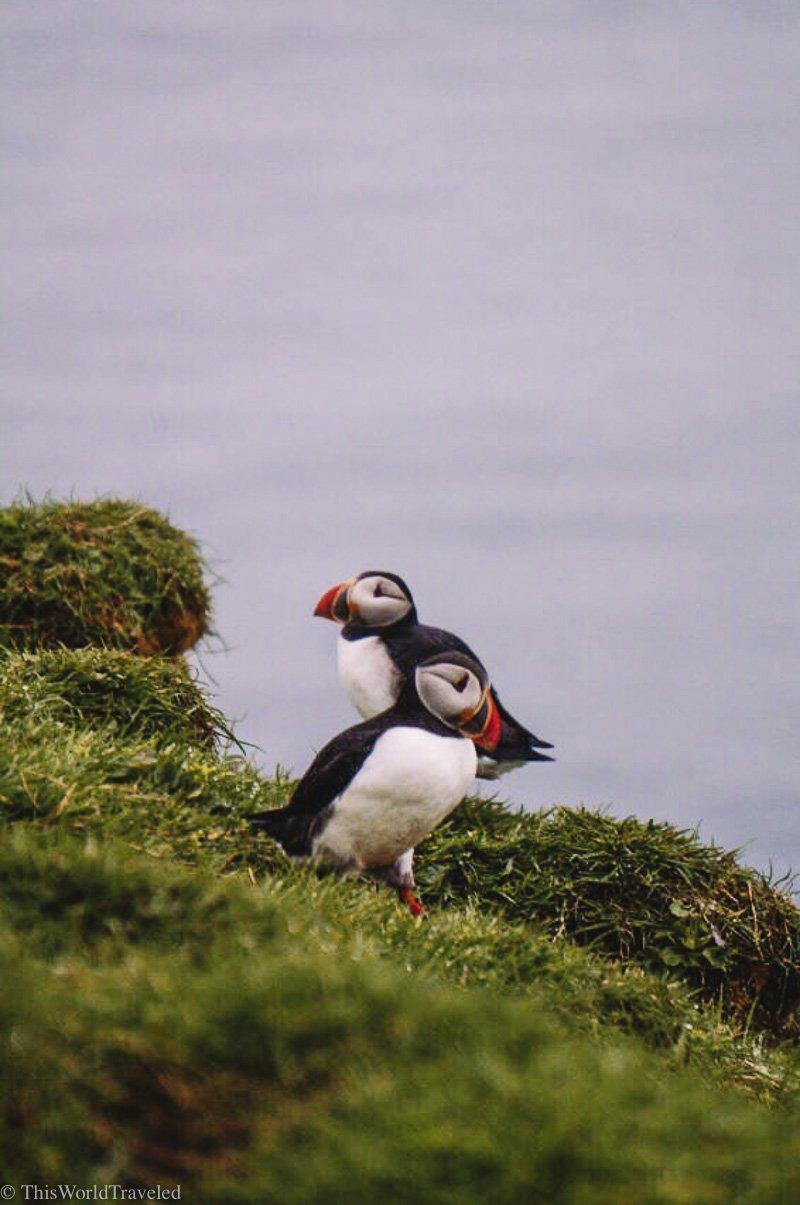 Puffins in the Faroe Islands on Mykines