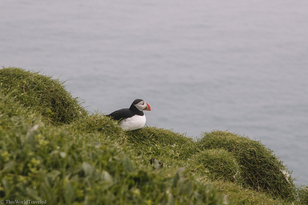 A small puffin seen on Mykines in the Faroe Islands