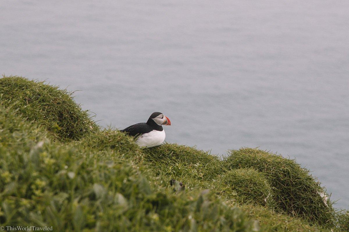 A small puffin seen on Mykines in the Faroe Islands