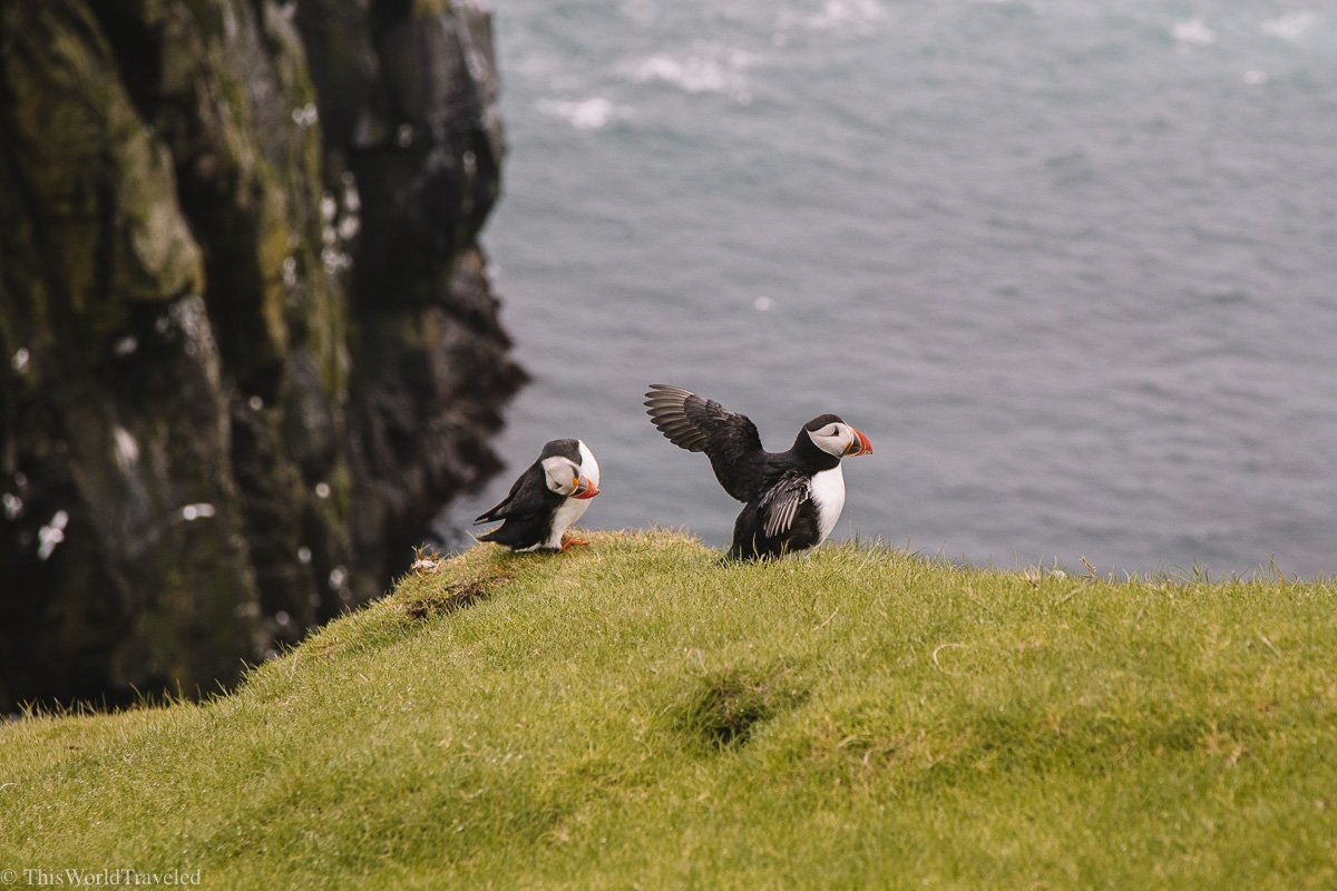 Small puffins flapping their wings on Mykines in the Faroe Islands