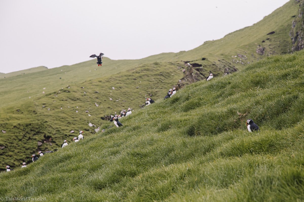 Puffins in their burrows along the mountain in Mykines