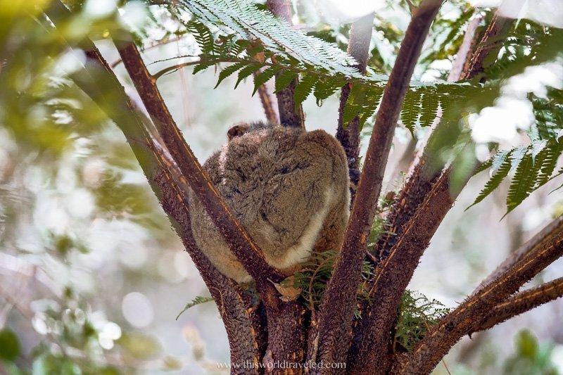 A sleeping woolly lemur in Madagascar