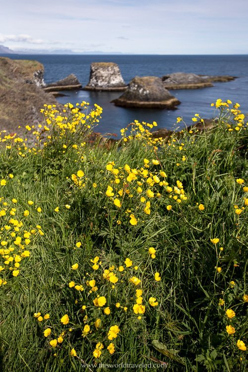 Yellow flowers in the summer along the coast of Iceland