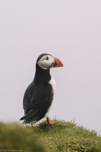 A small puffin on Mykines in the Faroe islands