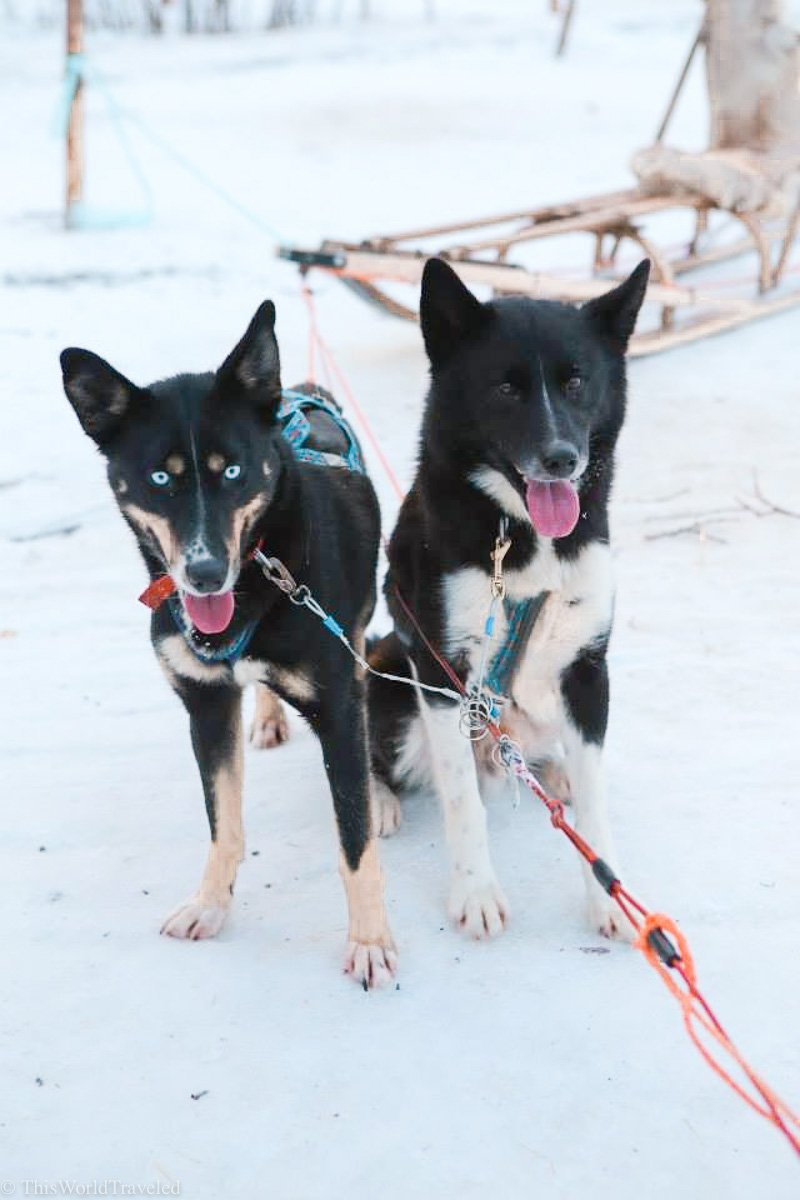Sled husky dogs ready to do some dog sledding in Northern Norway