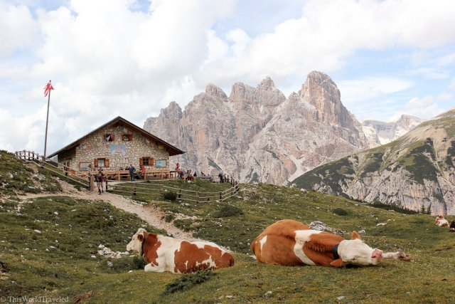 Cows lounging in front of the Rifugio at Tre Cime in the Italian Dolomites